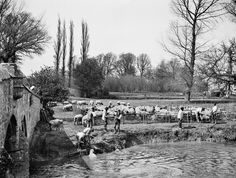 Shepherds by the Thames, Oxfordshire. Looking across the Thames with a group of shepherds washing their flock in the river using long poles and a pen behind. Radcot Bridge, Oxfordshire Date taken : 1885 Photographer : Henry Taunt Reproduced by permission of English Heritage