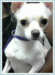 Phoenix, AZ - Chihuahua Mix. Meet JASPER, a dog for adoption! ***Act quickly to adopt JASPER. Pets at this shelter may be held for only a short time.!!!*** Maricopa County Animal Care & Control - West Shelter