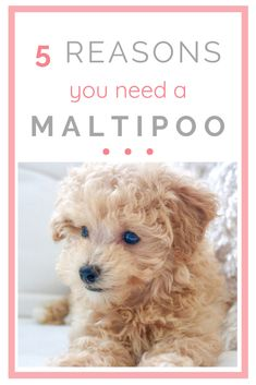 I'm sharing 5 reasons why you NEED a Maltipoo Puppy! These teddy bear dogs are the cutest, furriest, friendliest pets. Maltipoo puppies are the perfect addition to your family. Here are five reasons why you should get one! #maltipoo #teddybearpuppy #teddybear #teddybeardog #teacuppup #teacup #tinydog #cutestdog #dogsofpinterest #puppies #styleinherited
