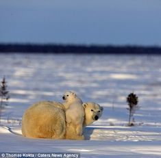 For once-in-a-lifetime pictures it was worth the wait: Photographer spends 11 days watching den to snap the adorable moment polar bear cubs emerge for the first time | Daily Mail Online