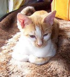 Butterscoth (sweet as candy) is an adoptable Domestic Short Hair - Orange And White Cat in Macomb, MI. 5 months A 12 year girl rescued him from farm where the lady had an abudance of cats and. Orange And White Cat, Found Cat, 5 Months, Short Hair, Adoption, Kitty, Homes, Candy, Sweet