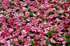 Find help & information on Petunia × atkinsiana 'Storm Pink' petunia 'Storm Pink' from the RHS Summer Bedding Plants, Petunias, Gardening, Pink, Rose, Lawn And Garden, Roses, Yard Landscaping, Horticulture