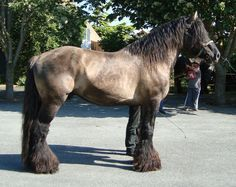 Mulassier Draft Horse .... can ya tell I love Draft breeds? So breathtaking!