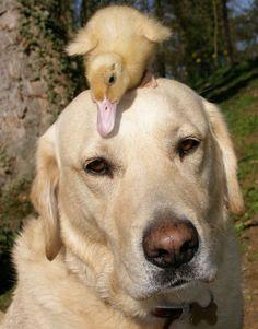 canard et chien. Fred le Labrador et Dennis le caneton