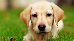 There are two types of Labrador retrievers, the English Labrador and the American Labrador. English Labrador dogs are from the UK, the general appearance is Golden Retriever, Labrador Retriever Dog, Labrador Puppies, Dog Photos, Dog Pictures, Funny Pictures, Cute Puppies, Dogs And Puppies, What Animal Are You