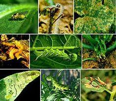 Pest I.D. for Vegetables