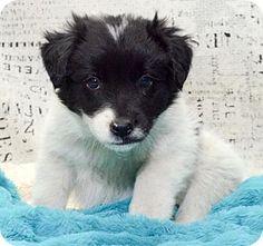 Aurora, CO - Australian Shepherd Mix. Meet 1013, a dog for adoption. http://www.adoptapet.com/pet/17052528-aurora-colorado-australian-shepherd-mix