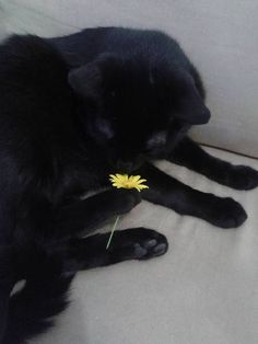 Aww a little black kitty with a little yellow flower :)