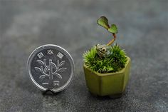 vforenterasan:  What happens when you apply of love of small things to an art form that's already all about small things? In recent years Bonsai—Japan's art form of growing miniature trees in miniature planters—has undergone a miniaturization trend. Industry experts consider bonsai plants less than 3cm (about 1 inch) to be particularly difficult, but artists have taken on the challenge, creating tiny plants and tiny planters that, literally, are at your fingertips. It's given rise to a new…