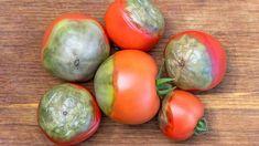Plody rajčat s plísní Easter Eggs, Flora, Gardening, Vegetables, Diy, Milan, Tomatoes, Bricolage, Lawn And Garden