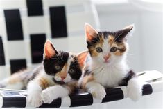 35    Popular Calico cat Photos That You Will Love