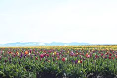 Tulip fields in Woodburn, Oregon #spring #tulips #oregon