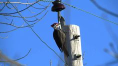Pileated Woodpecker drumming (and calling)