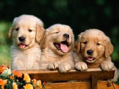 +3 cachorros de Golden Retriever