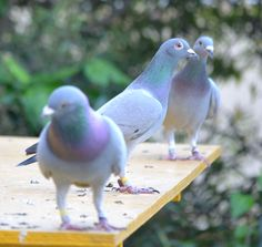 Racing pigeons on the landing bord at the loft of Ian Adriaanse from Paarl, Western Cape, South Africa. He competes within BDU and WCPTA. Visit our website at www.pigeoninflight.com