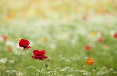 poppy by * Yumi *, via Flickr   I love poppies! Beautiful.
