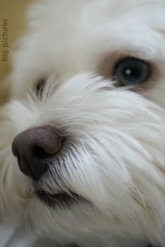 Pax- coton de tulear #bigpictures Funny Dog Pictures, Cute Animal Pictures, Pet Dogs, Dogs And Puppies, Pets, Cute Dogs Breeds, Dog Breeds, Coton De Tulear Puppy, Dog Haircuts