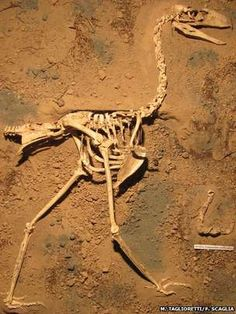 Most complete terror bird skeleton ever found -- earbone structure shows it could hear low pitches, so probably had a low voice
