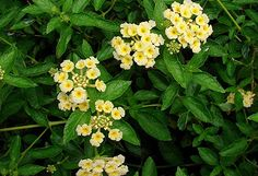 Pineland Lantana plant - one of the butterfly plants we bought yesterday.