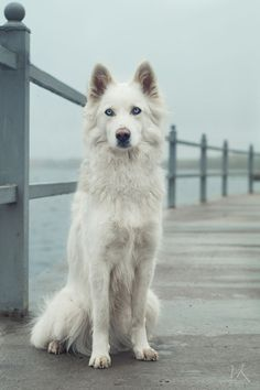 Yakutian Laika Info, Temperament … - Belezza,animales , salud animal y mas Animals And Pets, Funny Animals, Cute Animals, Mutt Dog, Dog Cat, Baby Dogs, Pet Dogs, Doggies, Beautiful Dogs