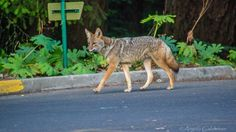 Coyotes are in the city to stay. Learning to live next door is going to take some adjustment — for all of us.