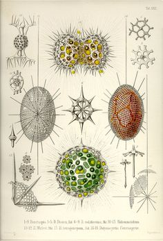 "Plate 22 from ""Die Radiolarien"" (1862) by by German naturalist, biologist & artist Ernst Haeckel (1834-1919). via caliban"