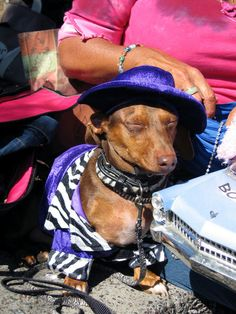 Pimp Dachshund ;) Them bitches be triflin'!  I have to find this for Rickles to wear on his walks with Joe!