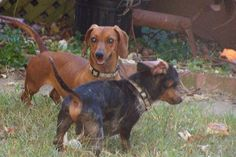 Chloe- VA. Pretty red dachshund available for adoption with Furever Dachshund Rescue.
