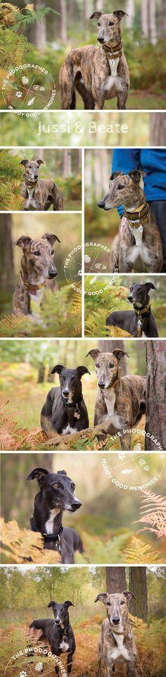Dog photography by The Phodographer   www.thephodographer.co.uk   Greyhound