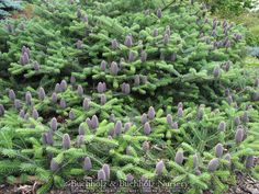 Abies arnoldiana 'Poulsen'  Poulsen Arnoldiana Fir  Plant Description  A low spreading conifer with bright green needles. Purple cones stand erect above the foliage. This wonderful garden selection is a hybrid between Abies koreana and Abies veitchii. Prefers sun/partial shade in well-drained soil. 1' tall x 4' wide in 10 years. Hardy to -30 degrees. USDA zone 4.