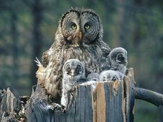 Mom Owl and owlets | Flickr - Photo Sharing!