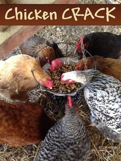 Chicken Crack - The healthy treat your chickens will go CRAZY for! by Florassippi Girl: