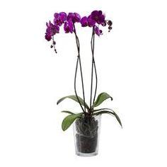 PHALAENOPSIS Plante en pot, orchidée, 2 tiges - IKEA