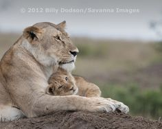 Lioness and little one by Billy Dodson on 500px