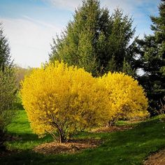 Things You Should Know about Forsythia Landscaping Forsythia Landscaping Forsythia Gammons Garden Center Landscape Nursery Types Of Shrubs, Types Of Soil, Forsythia Bush, Shrubs For Sale, Landscape Nursery, Wholesale Nursery, Spring Landscape, Trees And Shrubs, Flowering Shrubs