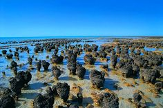 Living stromatolites, structures built from blue-green algae and mineral deposits associated with them, formed the first reefs literally billions of years ago. These living examples are in the shallow seas of Australia.