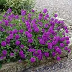 Verbena 'Homestead Purple' is a real staple here, and (almost) unkillable. It tolerates drought and heat, spreads rapidly and makes a beautiful ground cover or container plant (it drapes over the sides, and doesn't droop when it's thirsty). Garden Shrubs, Garden Beds, Garden Plants, Garden Fun, Container Plants, Container Gardening, Purple Garden, Drought Tolerant Plants, Landscaping