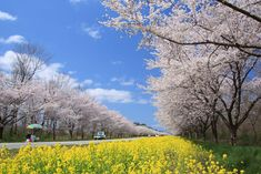 SAKURA Cherry Blossoms in JAPAN 東北・夢の桜街道 復興への祈りを捧げる 桜の札所・八十八ヵ所巡りakita
