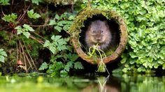From red deer mid-bellow to owls in flight, photographer Mark Bridger snaps photos of U.K. wildlife in action.