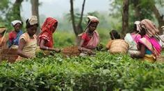 indian tea planters - Ecosia