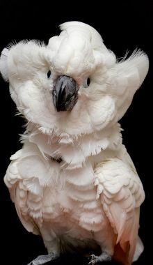 I Shall Hug You With My Cheek Feathers.