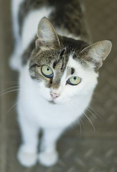 Tabby and white cat.
