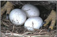 bald eagle eggs
