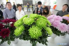 Green chrysanthemum displayed in E China - People's Daily Online