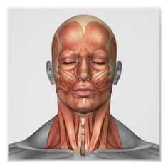 Human Figure Drawing Anatomy of human face and neck muscles, front view. Poster - Anatomy of human face and neck muscles, front view. Face Muscles Anatomy, Neck Muscle Anatomy, Muscles Of The Face, Head Anatomy, Anatomy Drawing, Anatomy Art, Anatomy Sketches, Facial Muscles, Anatomy Study