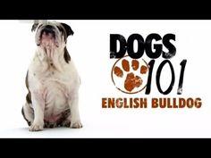 English Bulldog Dogs 101, Doggies, English, Cats, Youtube, Little Puppies, Gatos, Pet Dogs, English Language