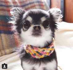 Cute Little Long Hair #chihuahua Puppy! www.chiwawadogs.net