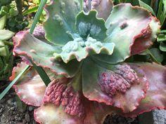 Susan's succulent garden, drought resistant, murphyfrog, Segale Bros Wood Products, agave garden