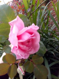 Rose, Flowers, Plants, Pink, Roses, Flora, Royal Icing Flowers, Floral, Plant