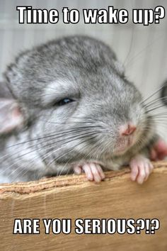 I love baby chinchillas. - Cincillà adopt a grigio ' The same start/end of a day; Hamsters, Chinchillas, Rodents, Like Animals, Cute Funny Animals, Animals And Pets, Baby Animals, Chinchilla Baby, Cane Corso